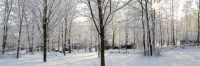 sugar maples in snow.JPG